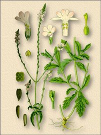Вербена. Лекарственный травы. Травник.