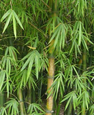 Бамбук (Bambusa vulgarus) 5e9a5e69