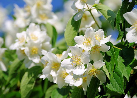 Жасмин (Jasminum officinale или odoratissimum)