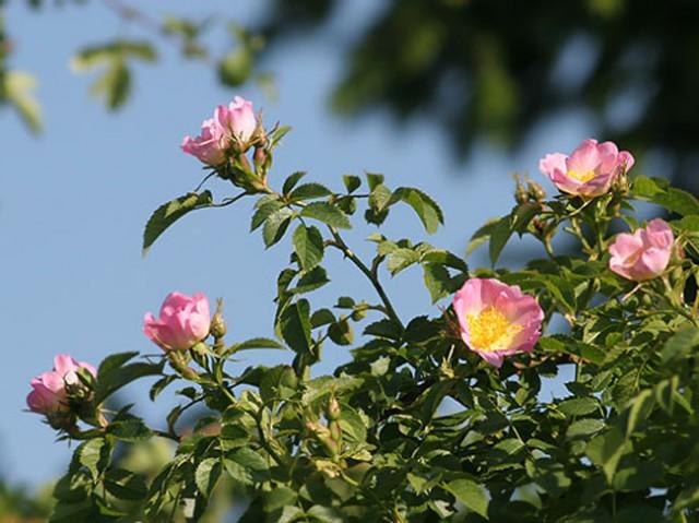 Роза и шиповник D6ce0a13